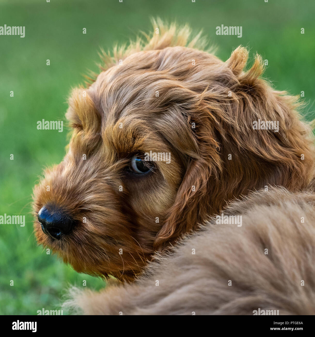 A young cockapoo puppy sitting in garden watching carefully Stock Photo