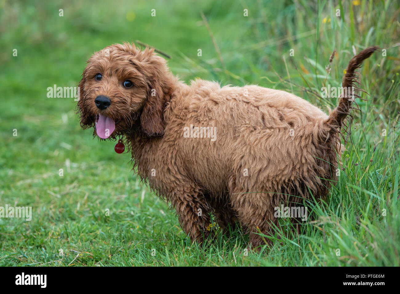 A cockapoo puppy standing still for a moment during a play session in the garden - Stock Image