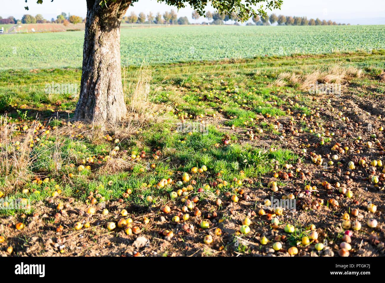 Fallen apples next to tree on field in autumn. - Stock Image
