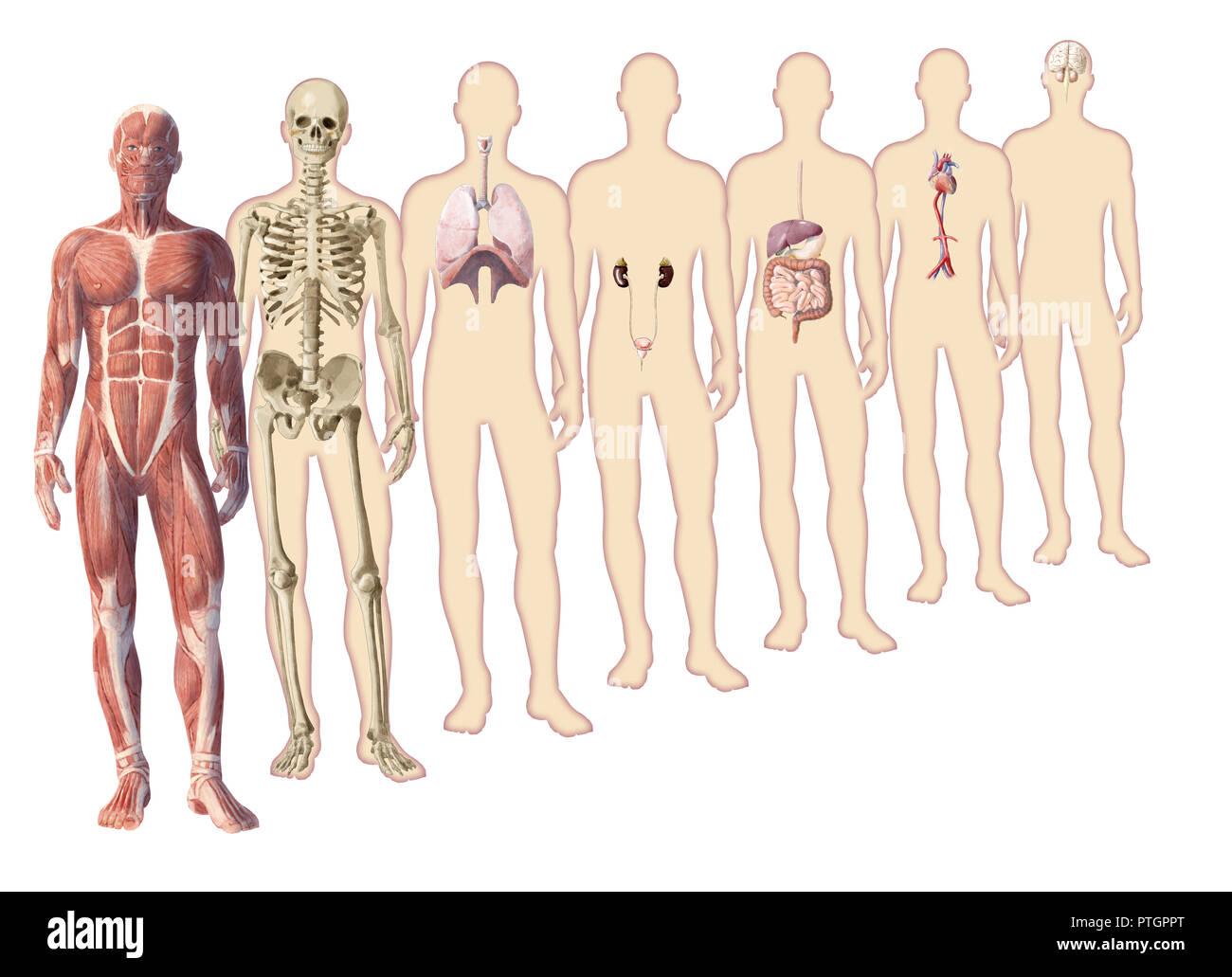 Digital Illustration Of Human Body Anatomy Stock Photo 221645280