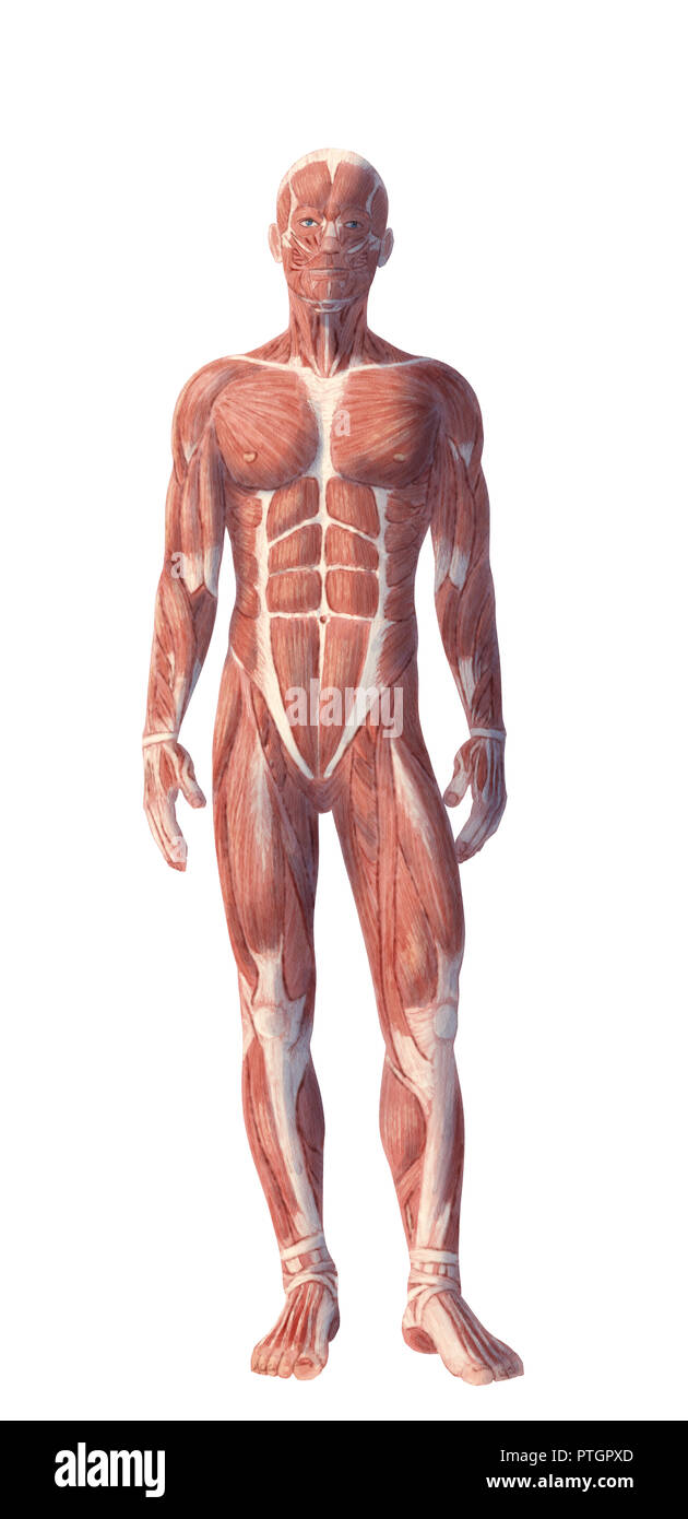 Digital illustration of human body anatomy Stock Photo