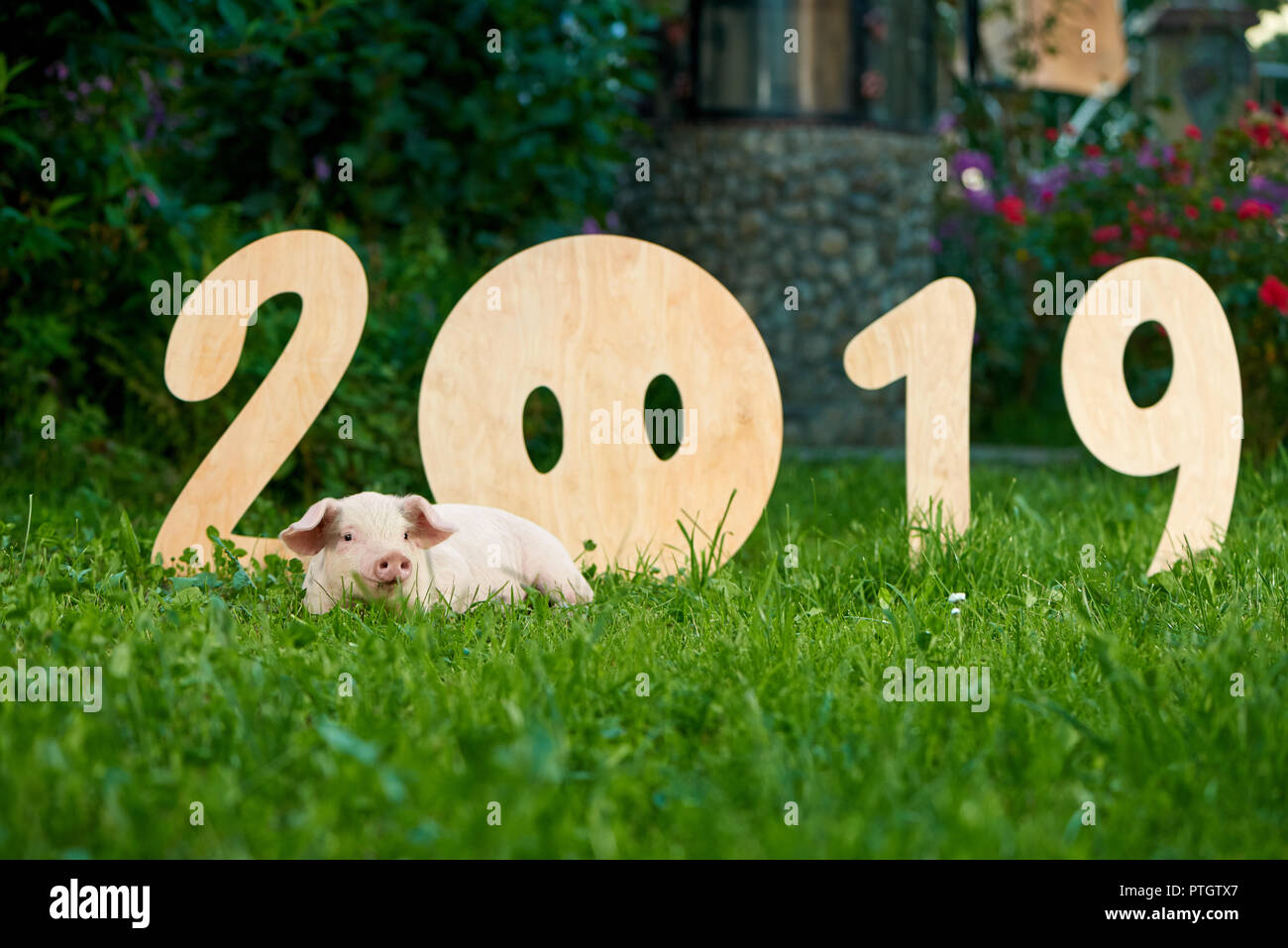 Decorative wooden numerals of new 2019 year  Cute piggy lying on