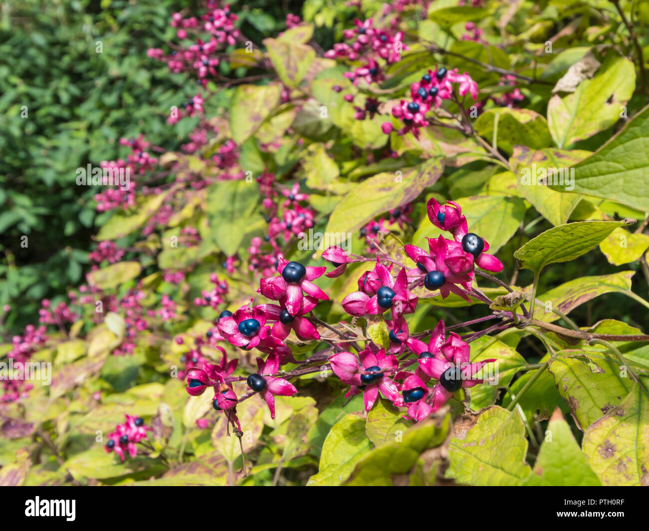 Clerodendrum Trichotomum var. fargesii (Farges harlequin glorybower) shrub in Autumn showing crimson calyces with turquoise berries, in Sussex, UK - Stock Image