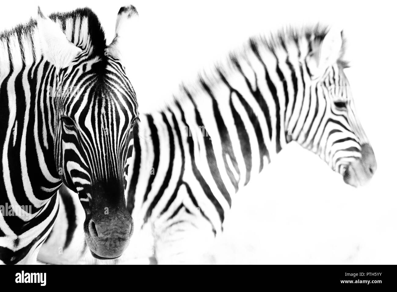 Two Zebra in Etosha national park (Namibia), mother with cub - Stock Image