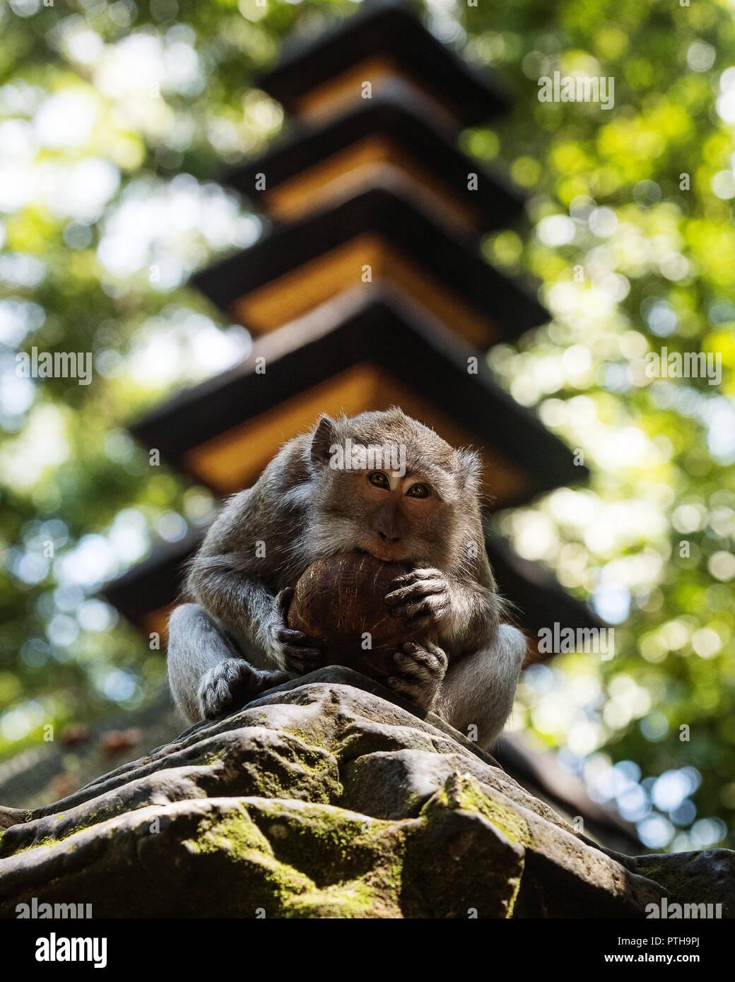 Monkeys in Ubud Bali - Stock Image