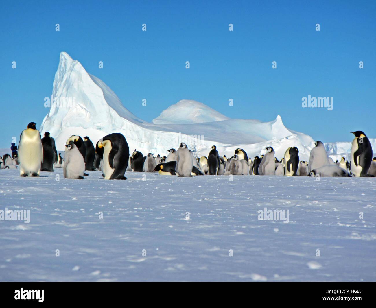 Colony, flock - Emperor Penguins in Antarctica. Overall plan - Stock Image