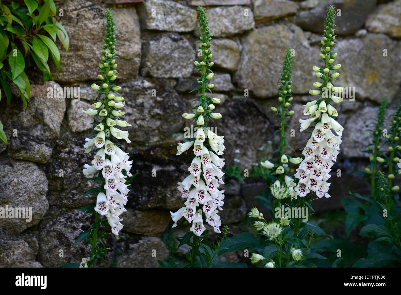Digitalis Dalmatian White F1 Hybrid,white,spotted,speckled,flower,flowers,spike,spikes,spire,spires,garden,spring,RM Floral - Stock Image