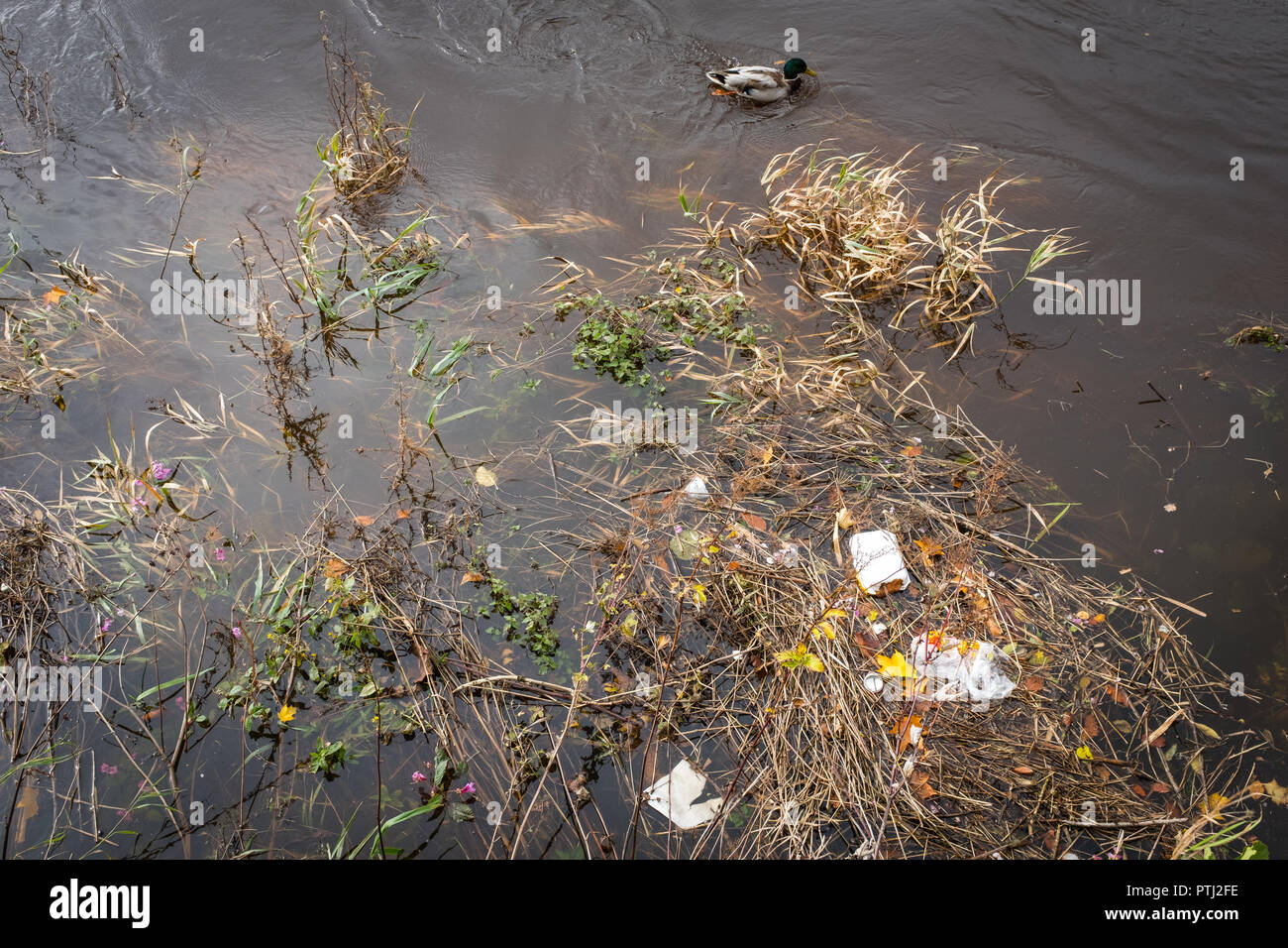 A Mallard duck swims past discarded rubbish floating in the River Nith, Dumfries, Scotland. - Stock Image