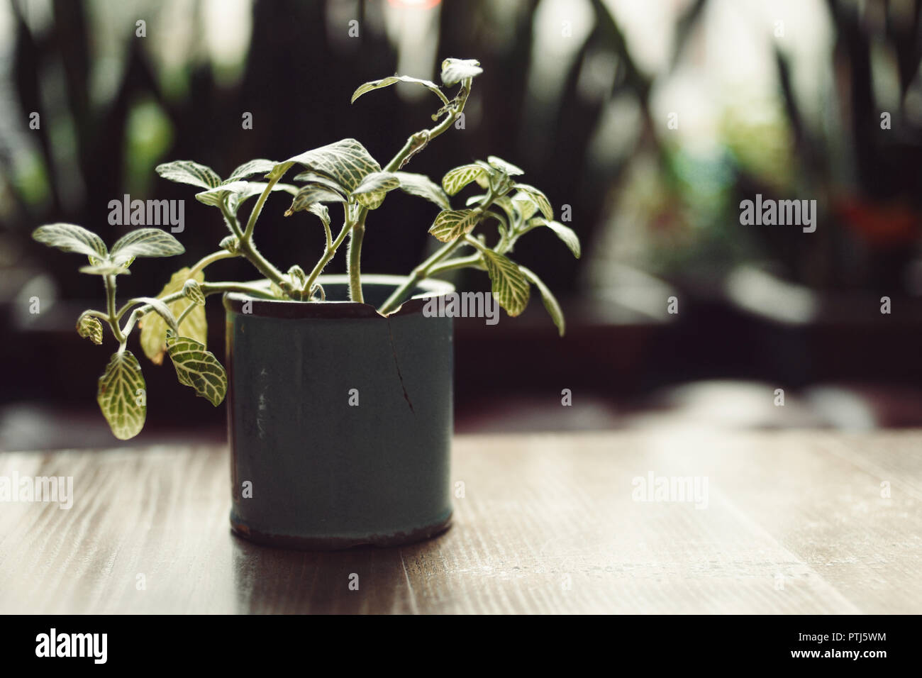 Green Pot with plant on wooden table backlit in dark room Stock Photo
