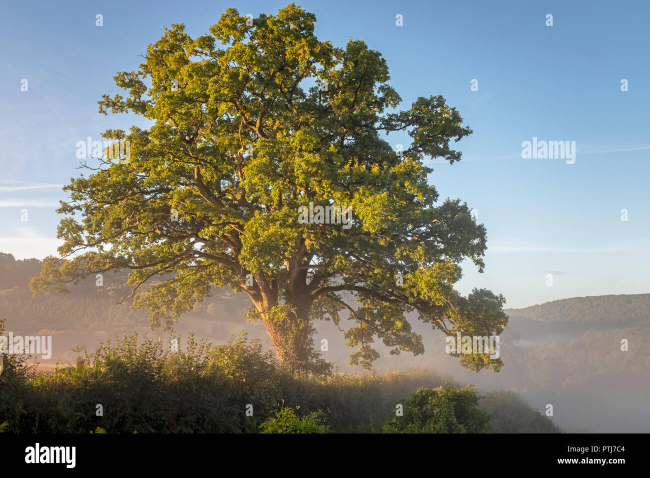 Oak tree bathed in sunshine and surrounded by morning mist in the Wye valley at Bigsweir. - Stock Image