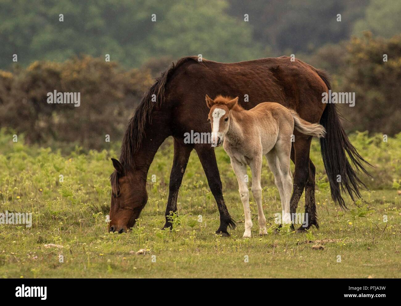 New Forest Pony foal - Stock Image