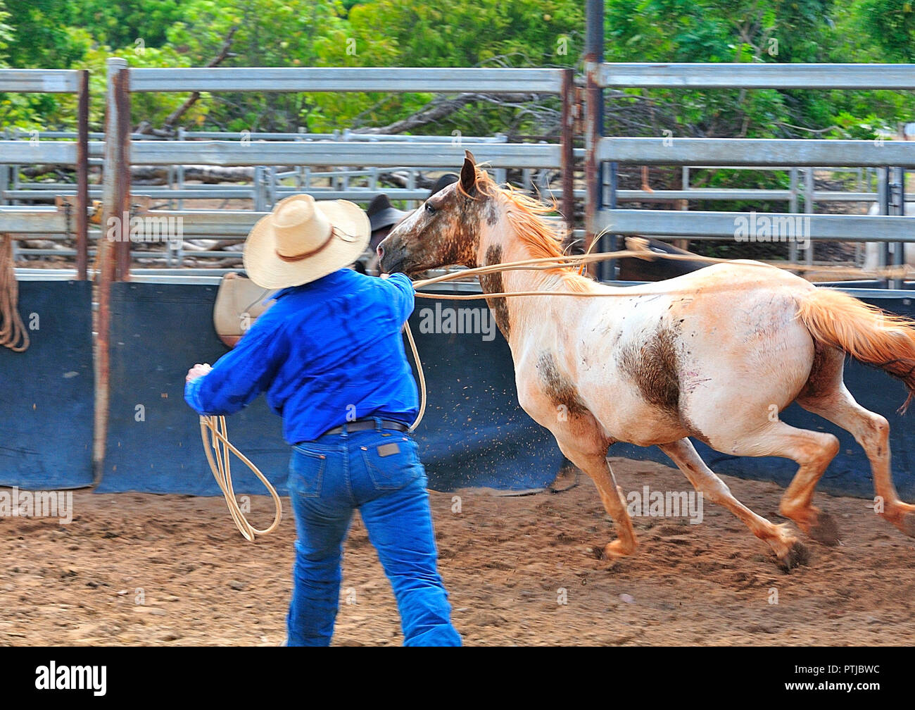 Tom Curtain the singing cowboy performing in his Outback Experience show in Katherine, Northern Territory,  lassoing a  young unridden wild horse Stock Photo