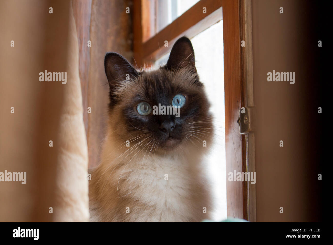 Adorable siamese cat with perfectly round blue eyes looking surprised and intrigued, next to rustic wooden window. - Stock Image