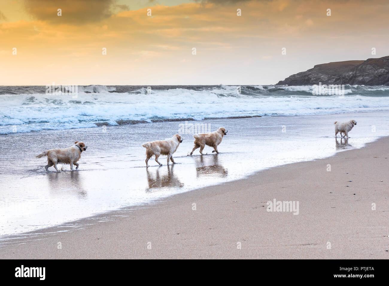Golden Retrievers enjoying a walk along the shoreline at Holywell Bay beach in Cornwall. - Stock Image