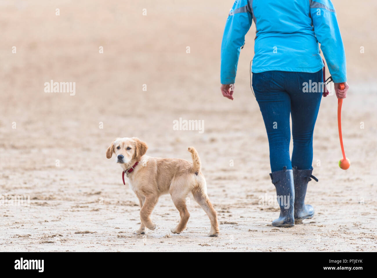 A Golden Retriever Puppy Walking With Its Owner On A Beach Stock Photo Alamy