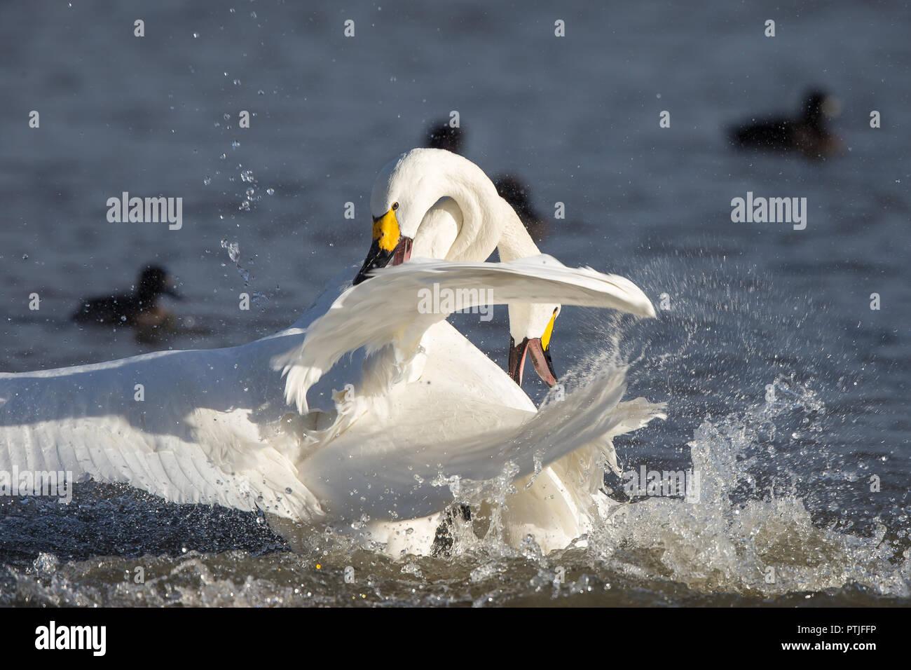 Dramatic action shot: two aggressive Bewick's swans (Cygnus columbianus) necks entangled, wings raised, splashing in fierce water battle in winter sun. Stock Photo