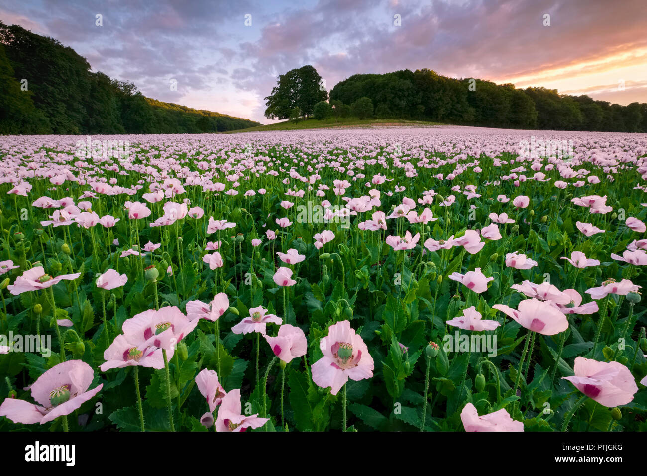 A sea of opium poppies in a field in Dorset. Stock Photo