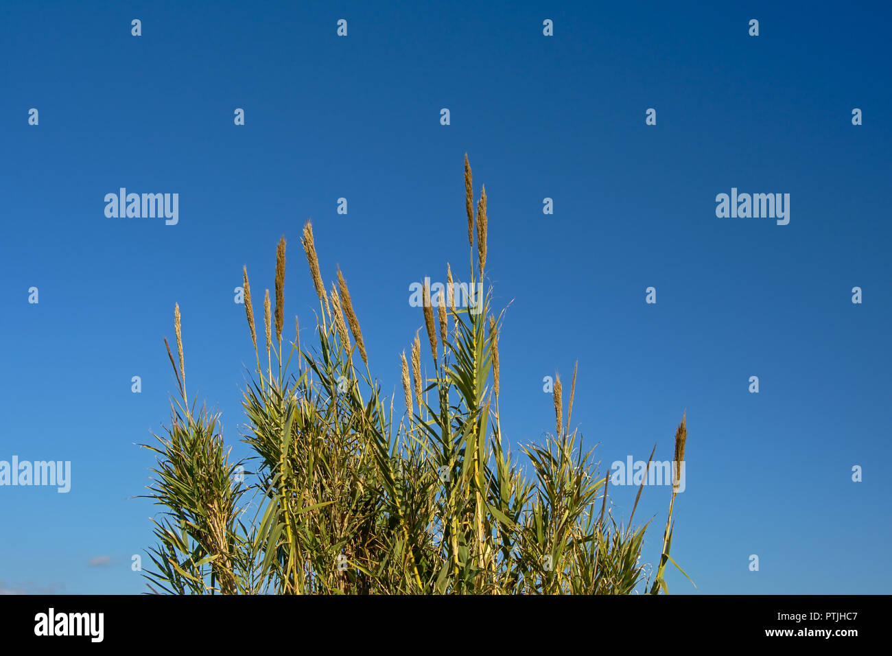 Plumes of giant reed plants on a blue sky in Guadalhorce river estuary nature reserve in Malaga - Arundo donax - Stock Image