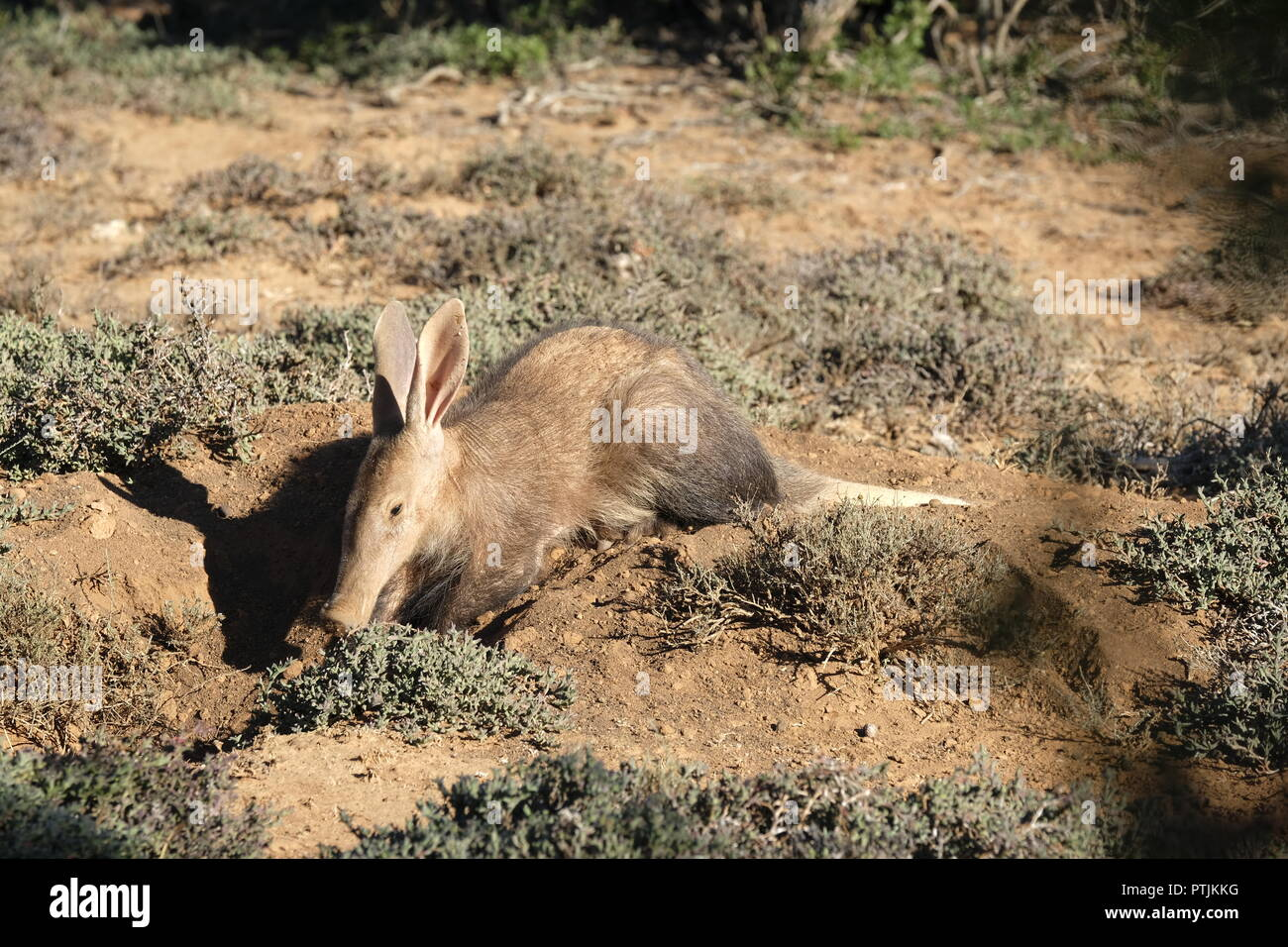 aardvark on burrow - early winter morning - Stock Image