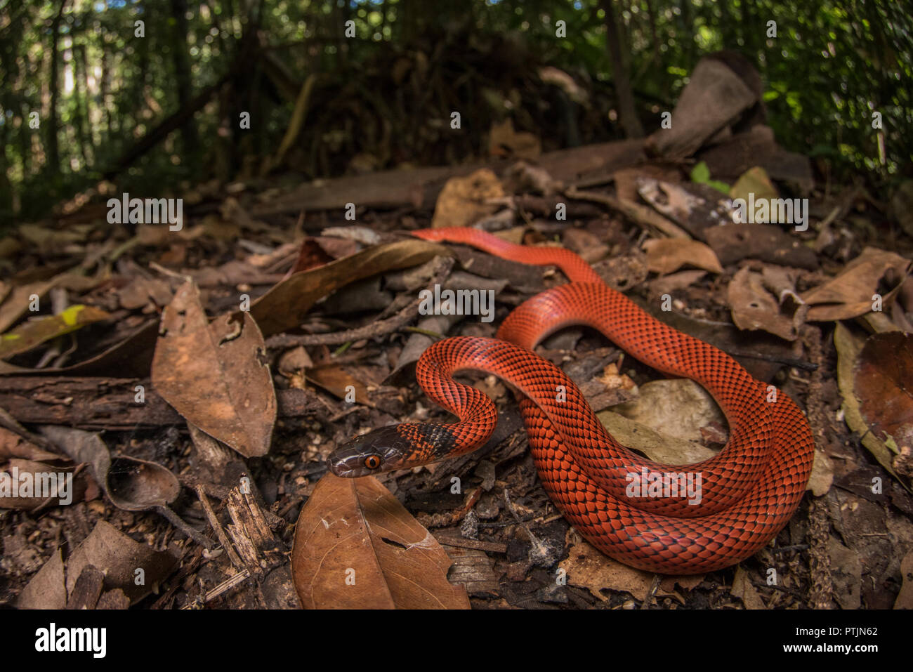 Oxyrhopus melanogenys,  Tschudi's false coral snake, is a harmless species that looks very similar to some dangerous coral snake species. - Stock Image