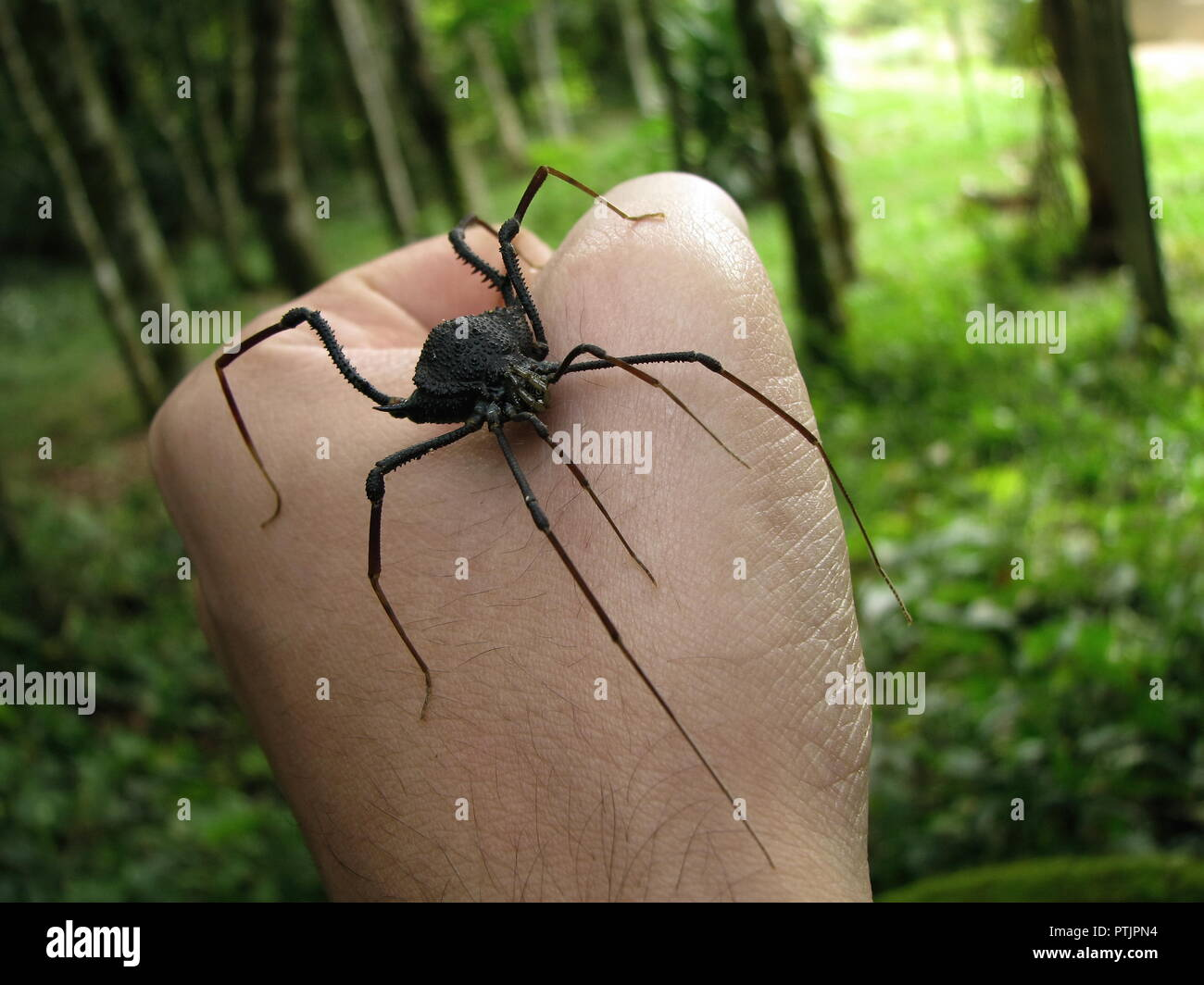 Big harvestman, an arachnid superficially similar to spiders and with the same common name of daddy long legs, being handled on a forest background. - Stock Image