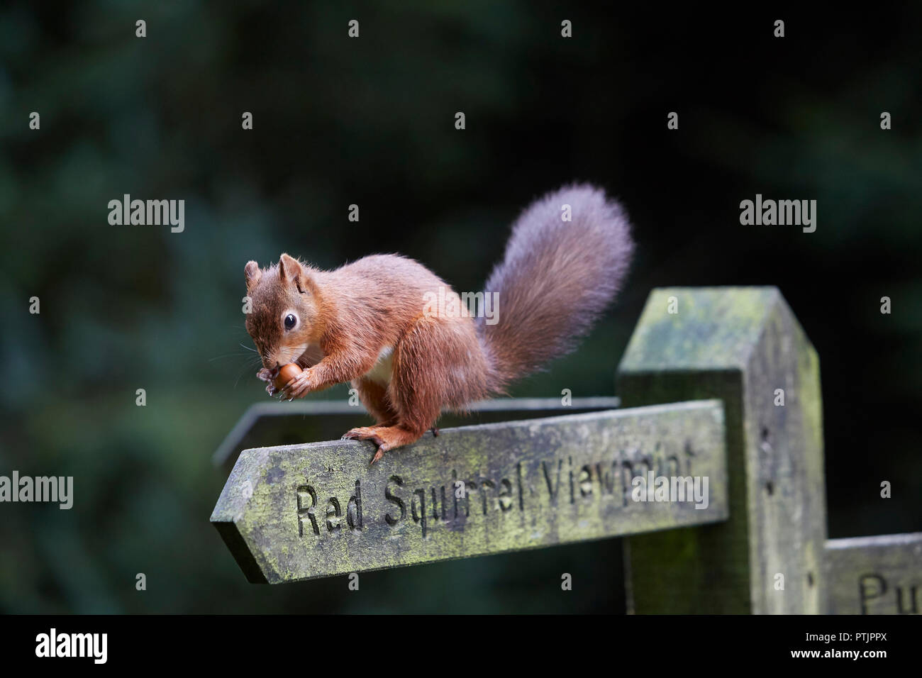 Red Squirrel, Sciurus vulgaris, eating a hazelnut on a Red Squirrel viewpoint public footpath sign post, Snaizeholme, near Hawes, Yorkshire Dales Nati - Stock Image