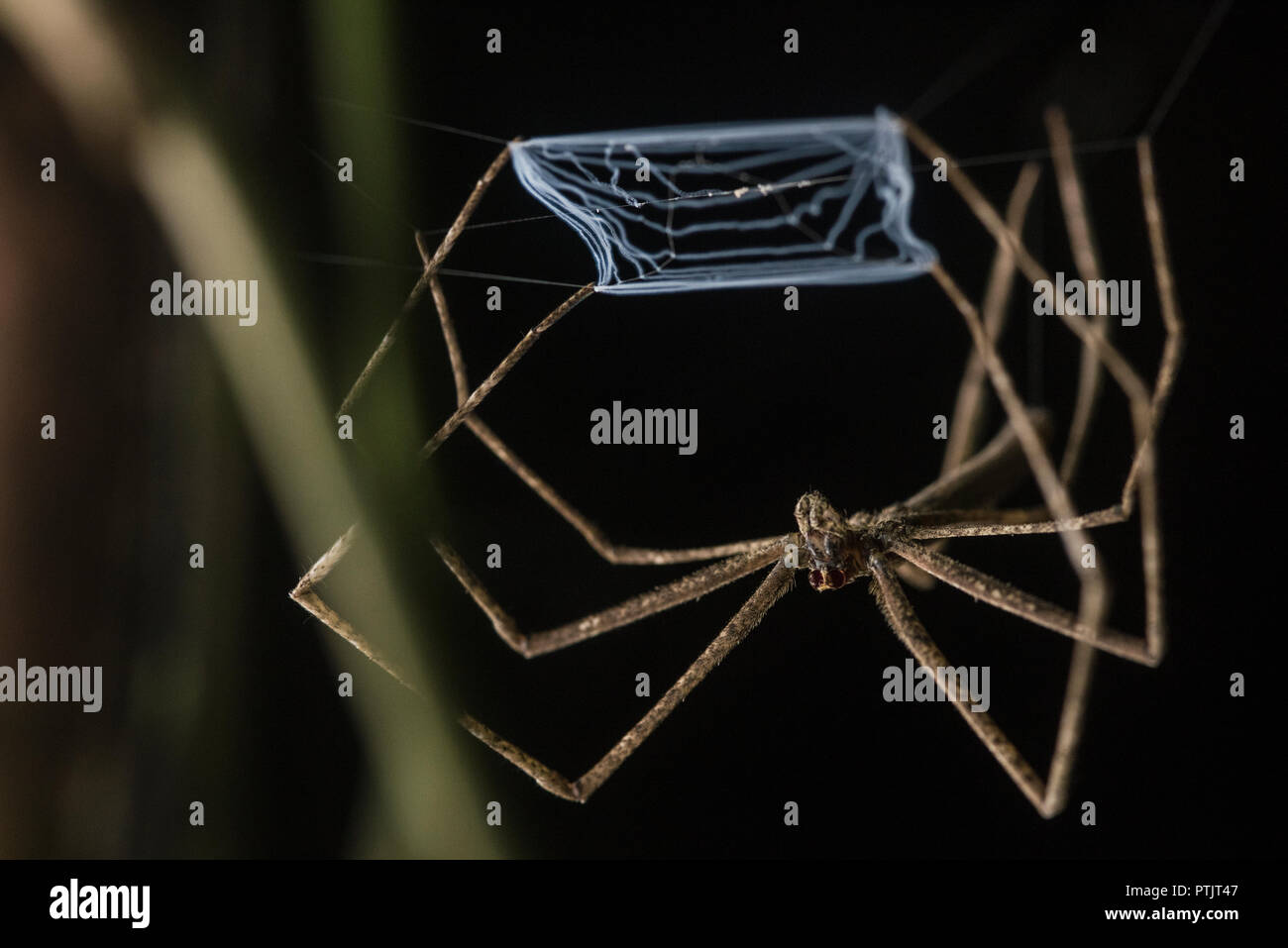 A net casting spider (Deinopis sp.) sits at the ready, prepared to catch any insect that come by with its modified web. - Stock Image