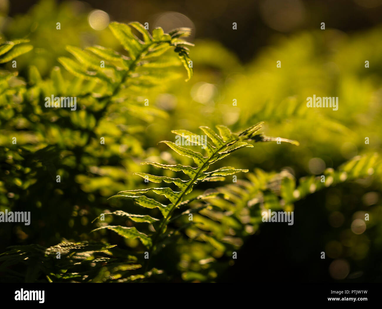 Licorice Fern (Polypodium glycyrrhiza) growingin Mount Douglas Park, Saanich near Victoria, British Columbia, Canada. Stock Photo