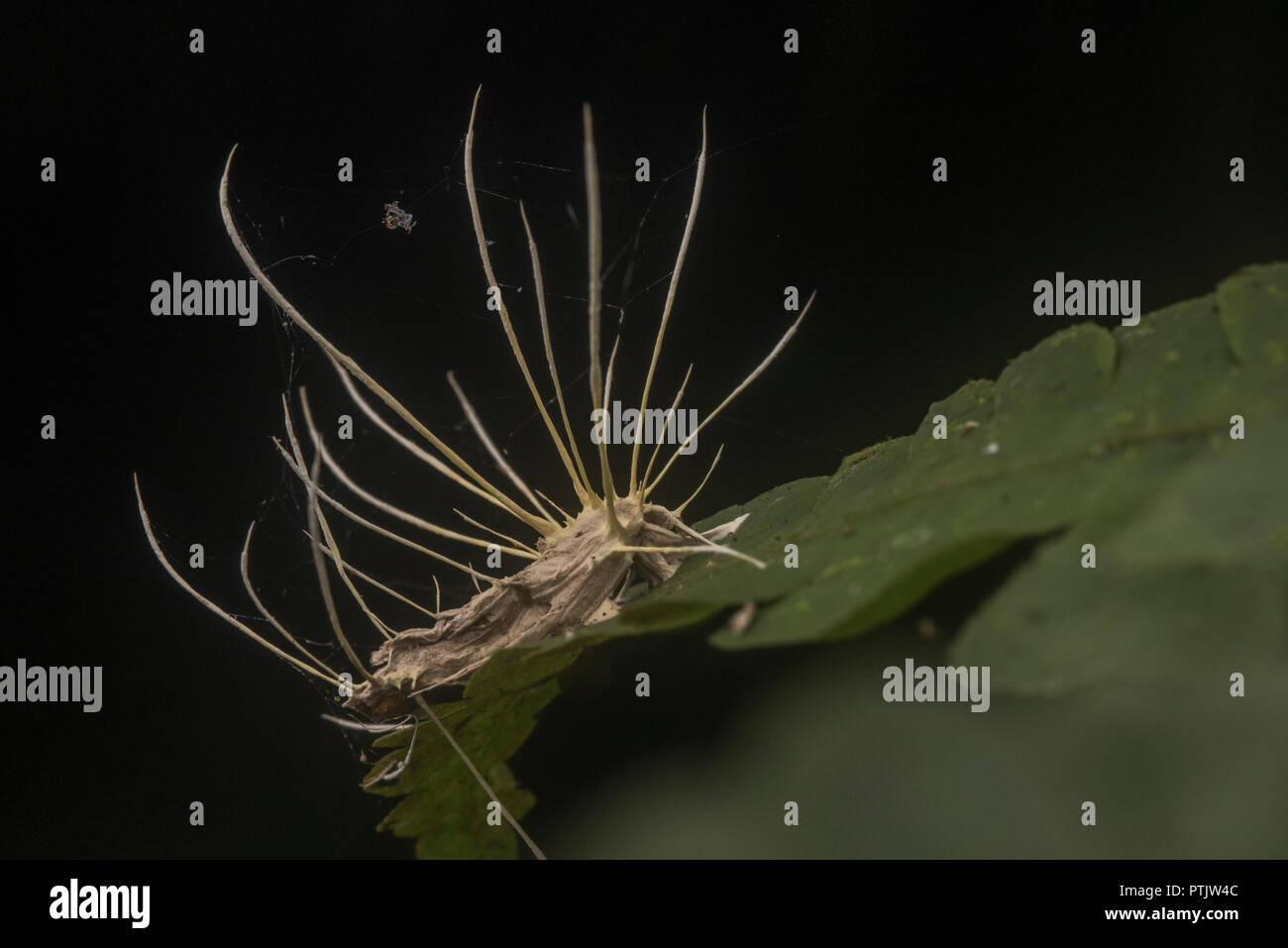 A moth that has been taken over and killed by the 'zombie fungus' a entomopathogenic fungi that takes over insect bodies. - Stock Image