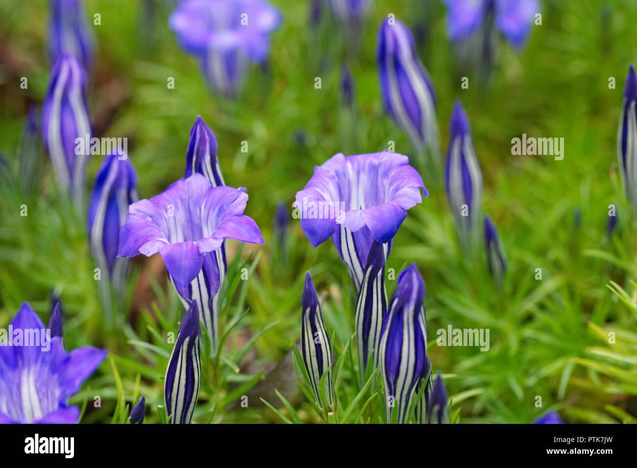 Gentiana 'Eugen Bester' flowers. - Stock Image