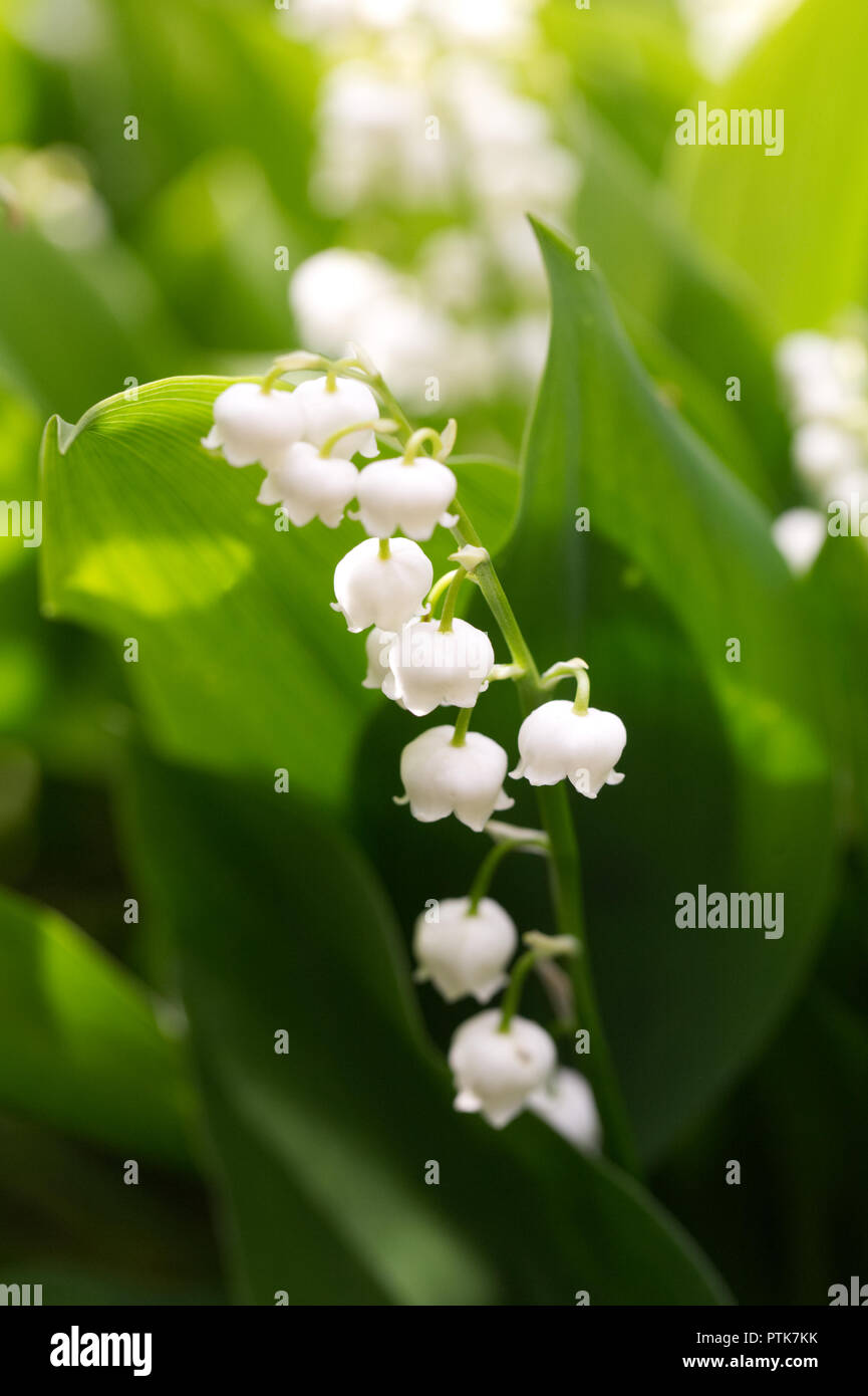 Convallaria Majalis Bell Shaped Flowers Of Lily Of The Valley Stock