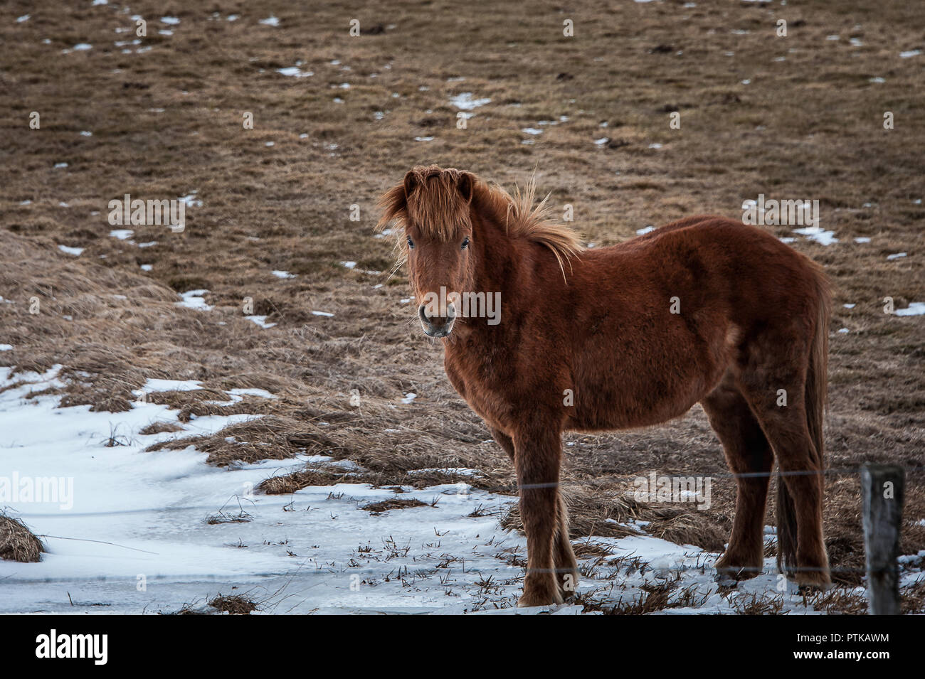 Portrait of an Icelandic horse or pony. Beautiful chestnut mare stands side on, facing camera. - Stock Image
