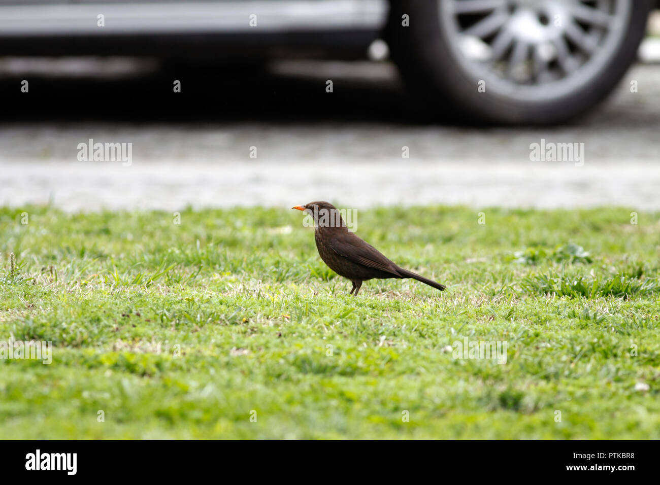 Female of common European blackbird looking for worms - Stock Image