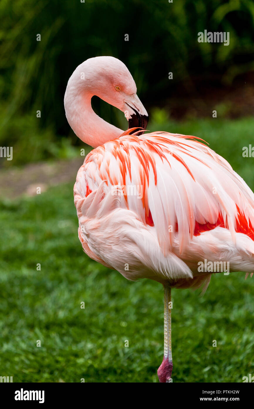 Flamingo standing on one leg while preening it's feathers in the grass Stock Photo