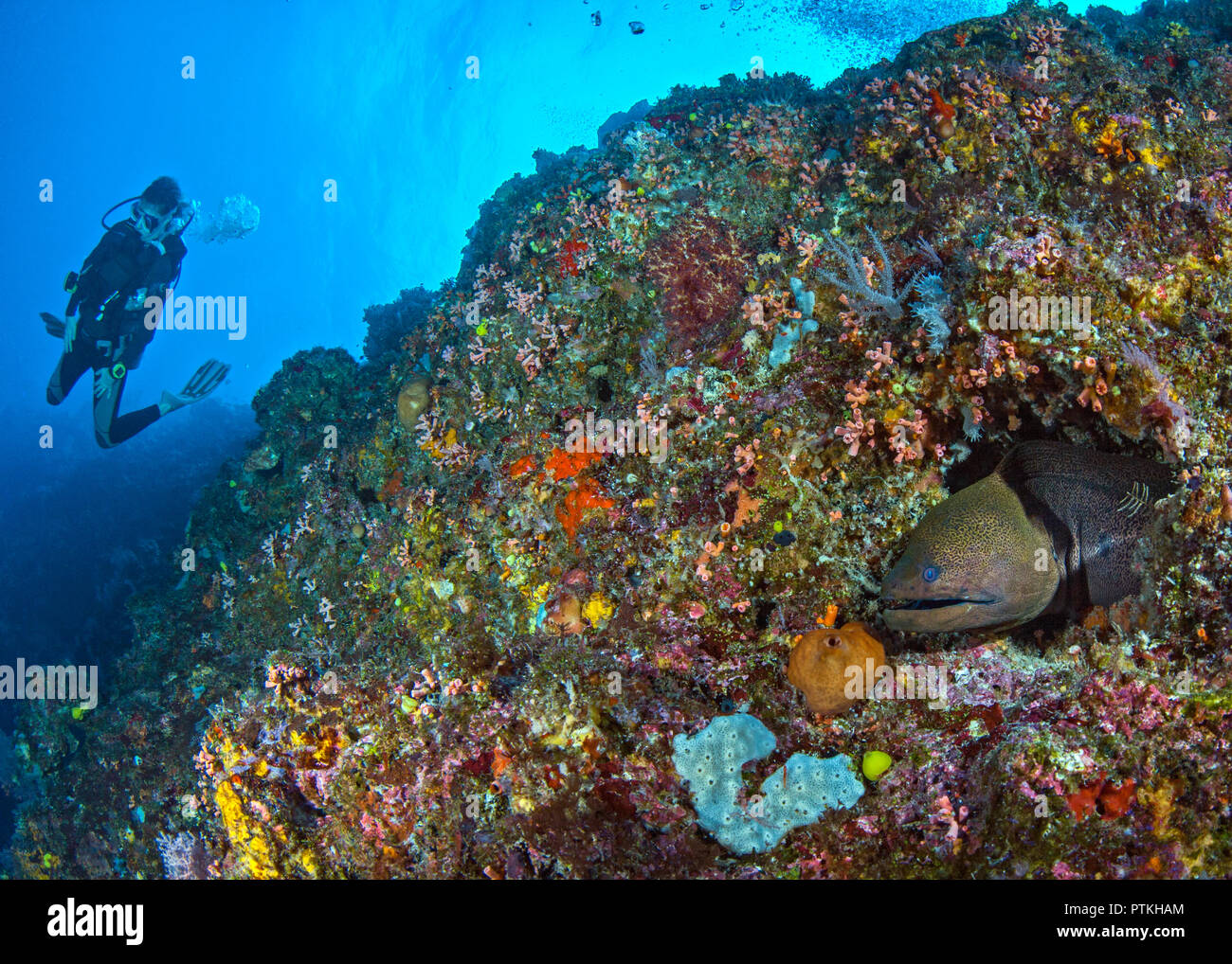 Green moray eel (Gymnothorax funebris) in coral reef with scuba diver in blue water background. Spratly Islands, South China Sea. - Stock Image