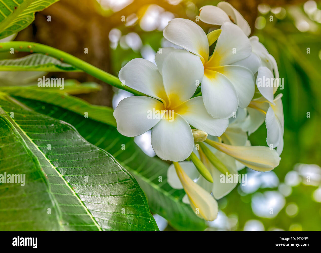 Frangipani flower (Plumeria alba) with green leaves on