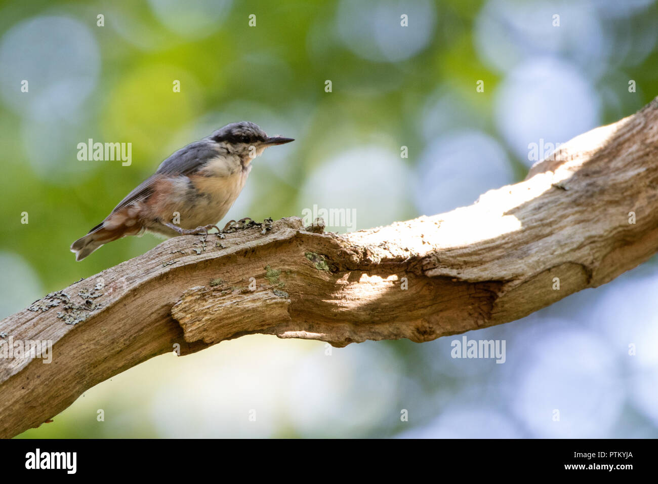 Nuthatch in Denmark Stock Photo