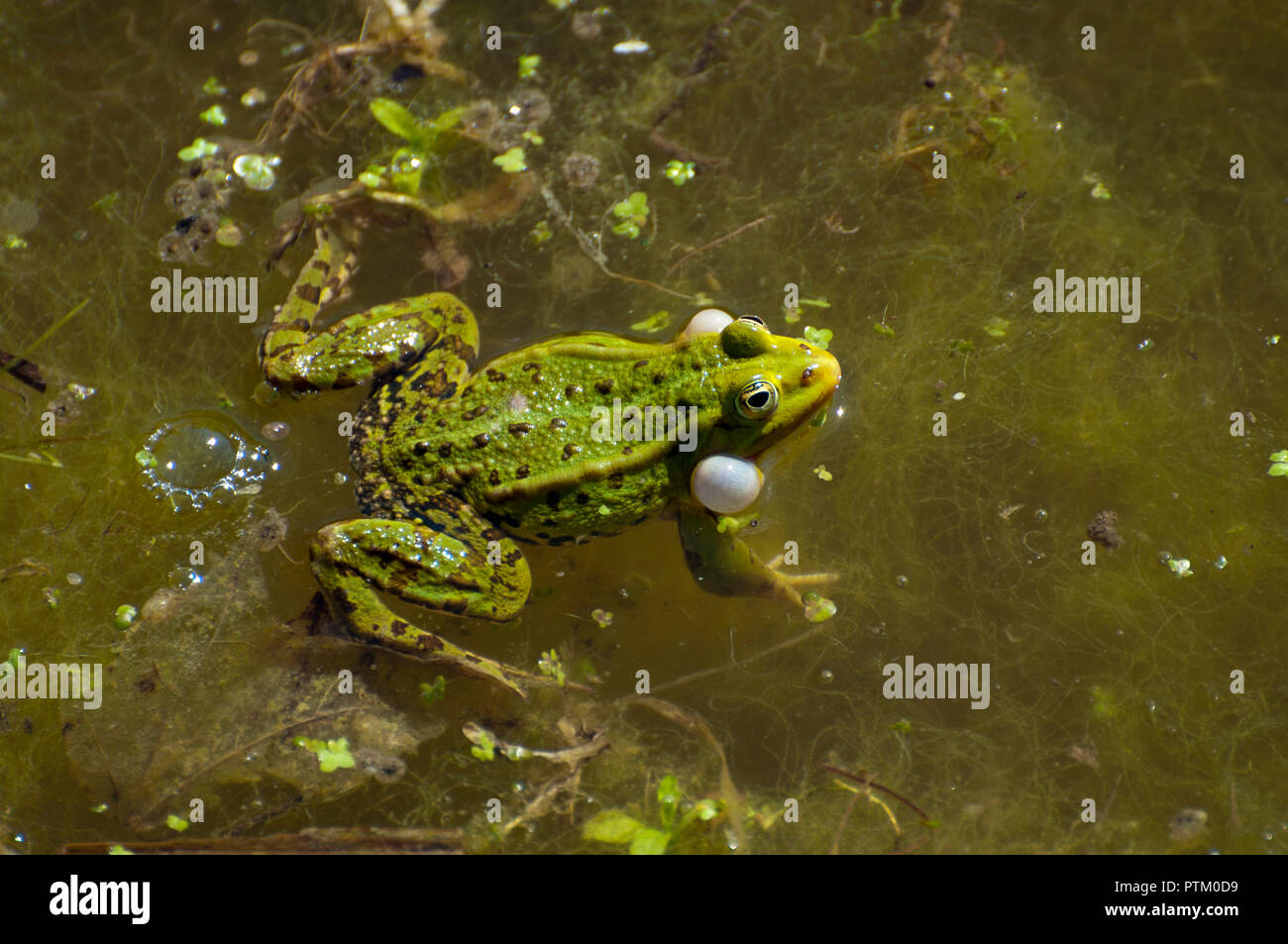Green frog (Rana esculenta) with inflated vocal sacs in water, Estonia - Stock Image