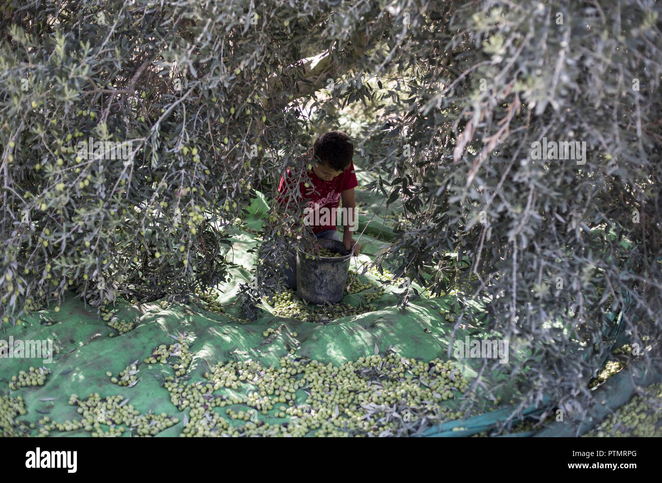 Olive and fig trees combined on gaza strip