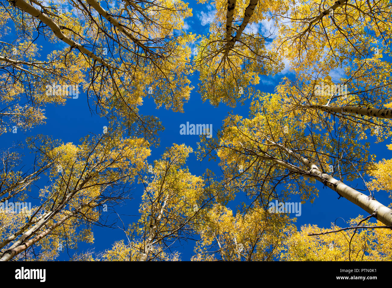 View looking up to the tops of aspen trees with golden yellow foliage under a brilliant blue sky - Stock Image