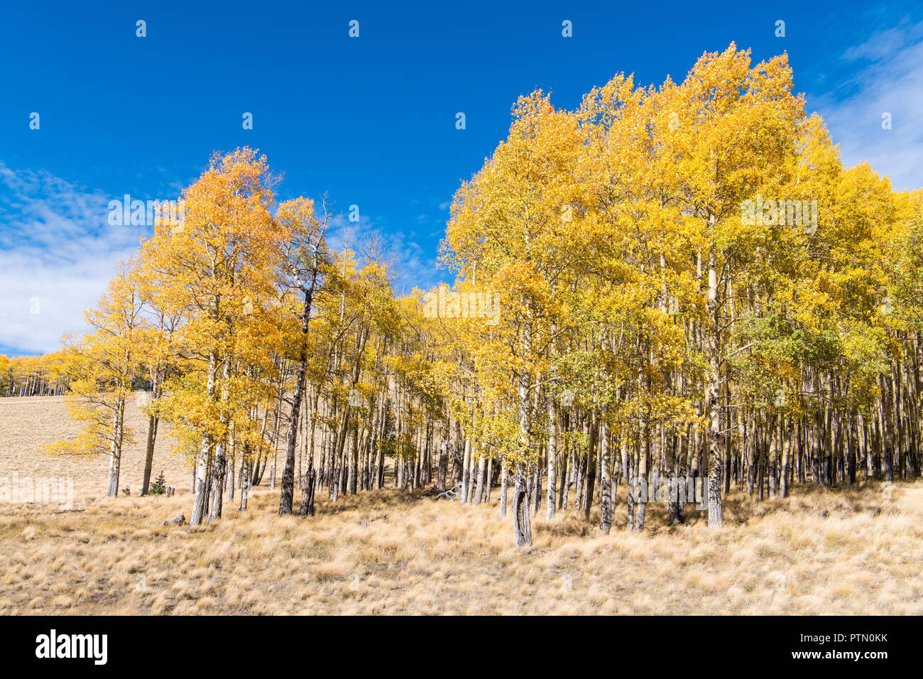A grove of aspen trees in fall colors along the edge of a grassy meadow under a brilliant blue sky - Stock Image