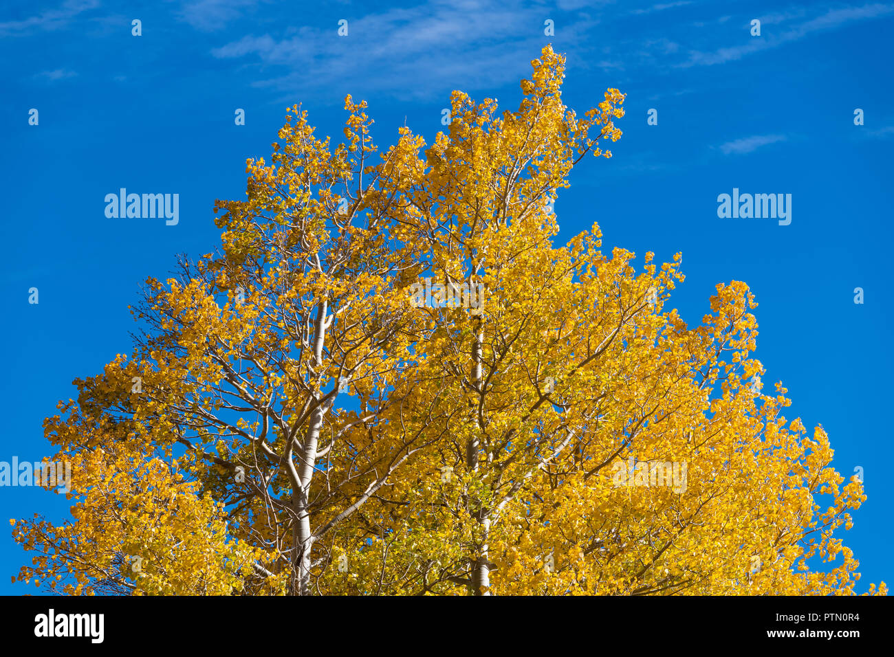 The treetops of aspen trees in golden autumn colors contrasted against a brilliant blue sky - Stock Image