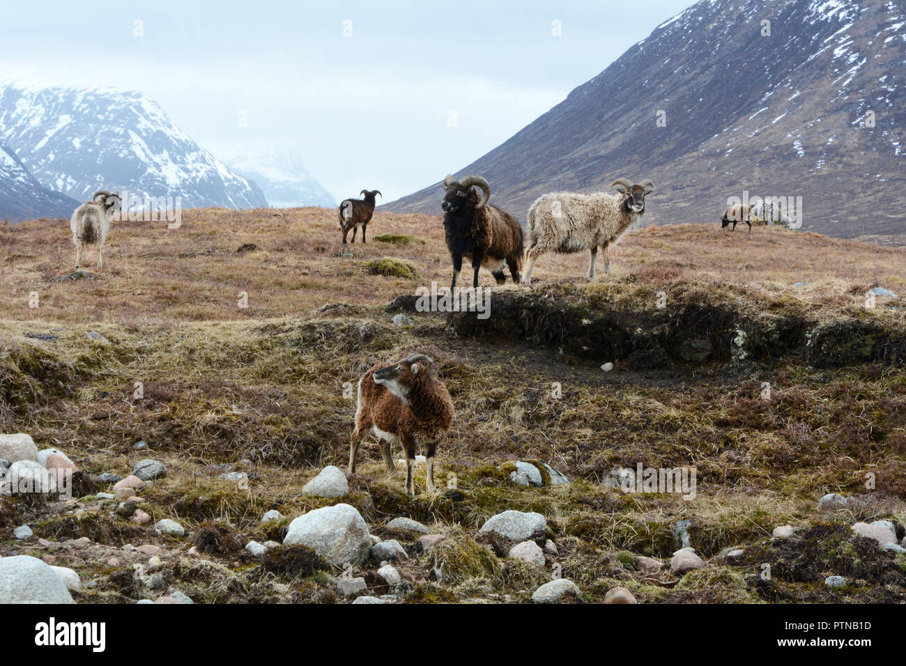 A group of six feral mountain goats in a meadow below a snowy Buachaille Etive Mor, Glen Etive, in the Scottish Highlands, Scotland, United Kingdom. - Stock Image