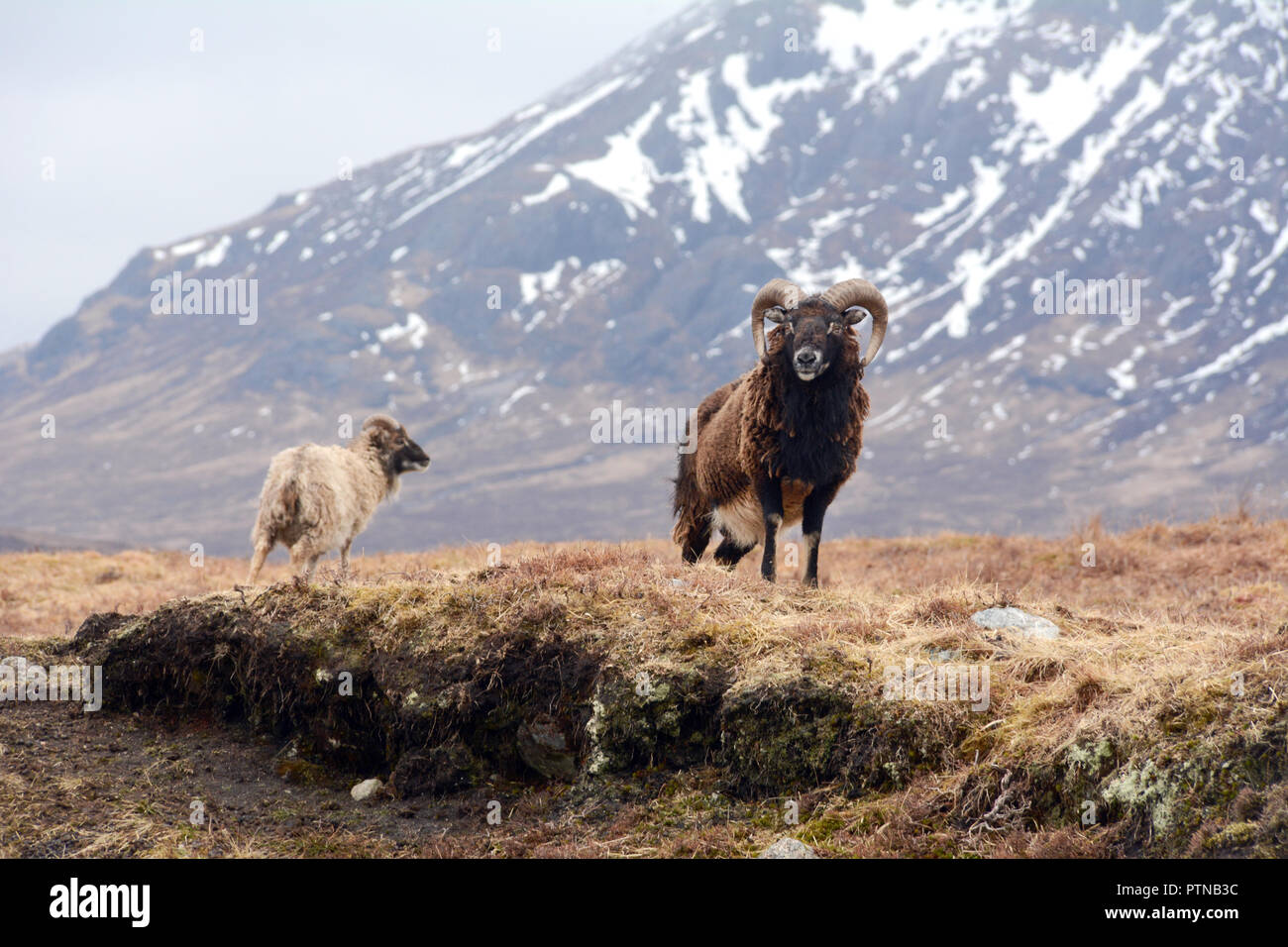 Two feral mountain goats in a meadow below a snowy Buachaille Etive Mor, near Glen Etive, in the Scottish Highlands, Scotland, United Kingdom. - Stock Image