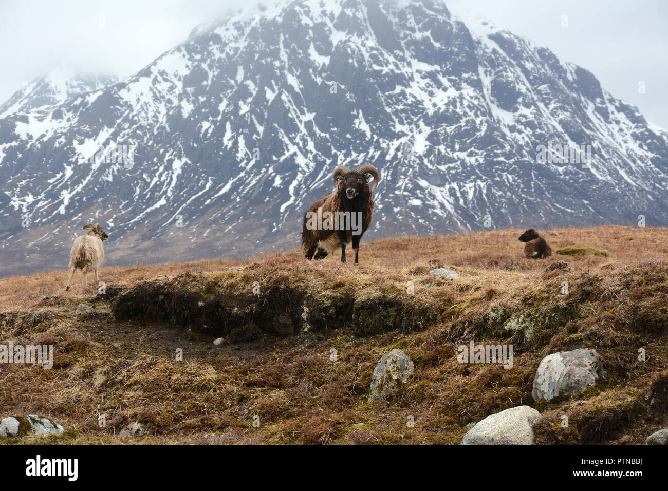 Three feral mountain goats in a meadow below a snowy Buachaille Etive Mor, near Glen Etive, in the Scottish Highlands, Scotland, United Kingdom. - Stock Image
