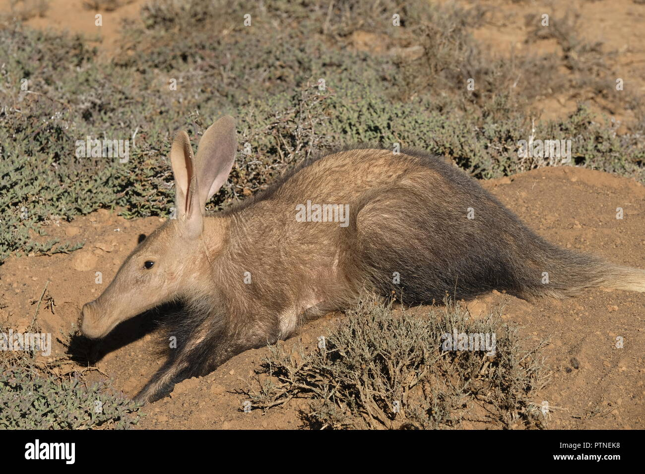 aardvark on burrow - early Winters morning - Kuzuko Lodge, Eastern Cape - Stock Image