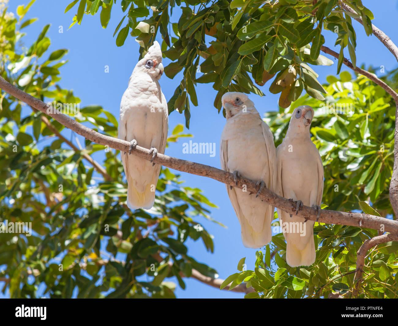White Cockatoos sitting in a tree at Karumba, Queensland, Australia - Stock Image