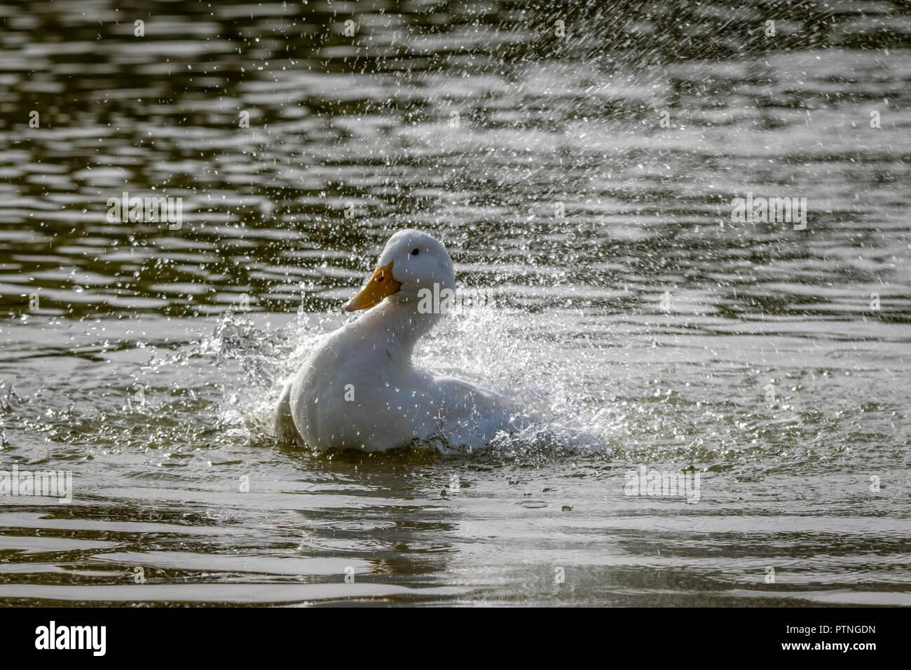 American Pekin Duck splashing about in water - Stock Image