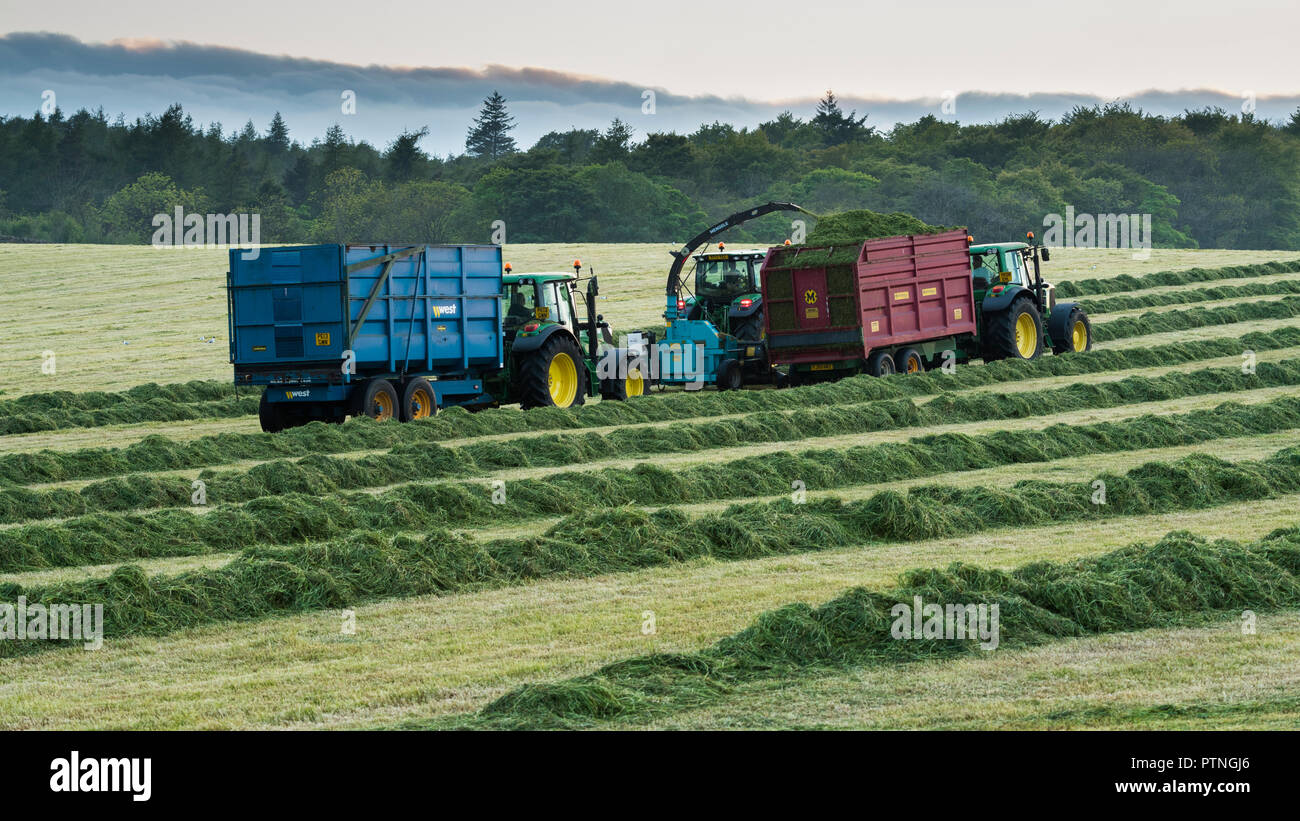 Working in farm field, 1 tractor towing forage harvester & 2 tractors with trailers collecting cut grass for silage - Yorkshire evening, England, UK. - Stock Image