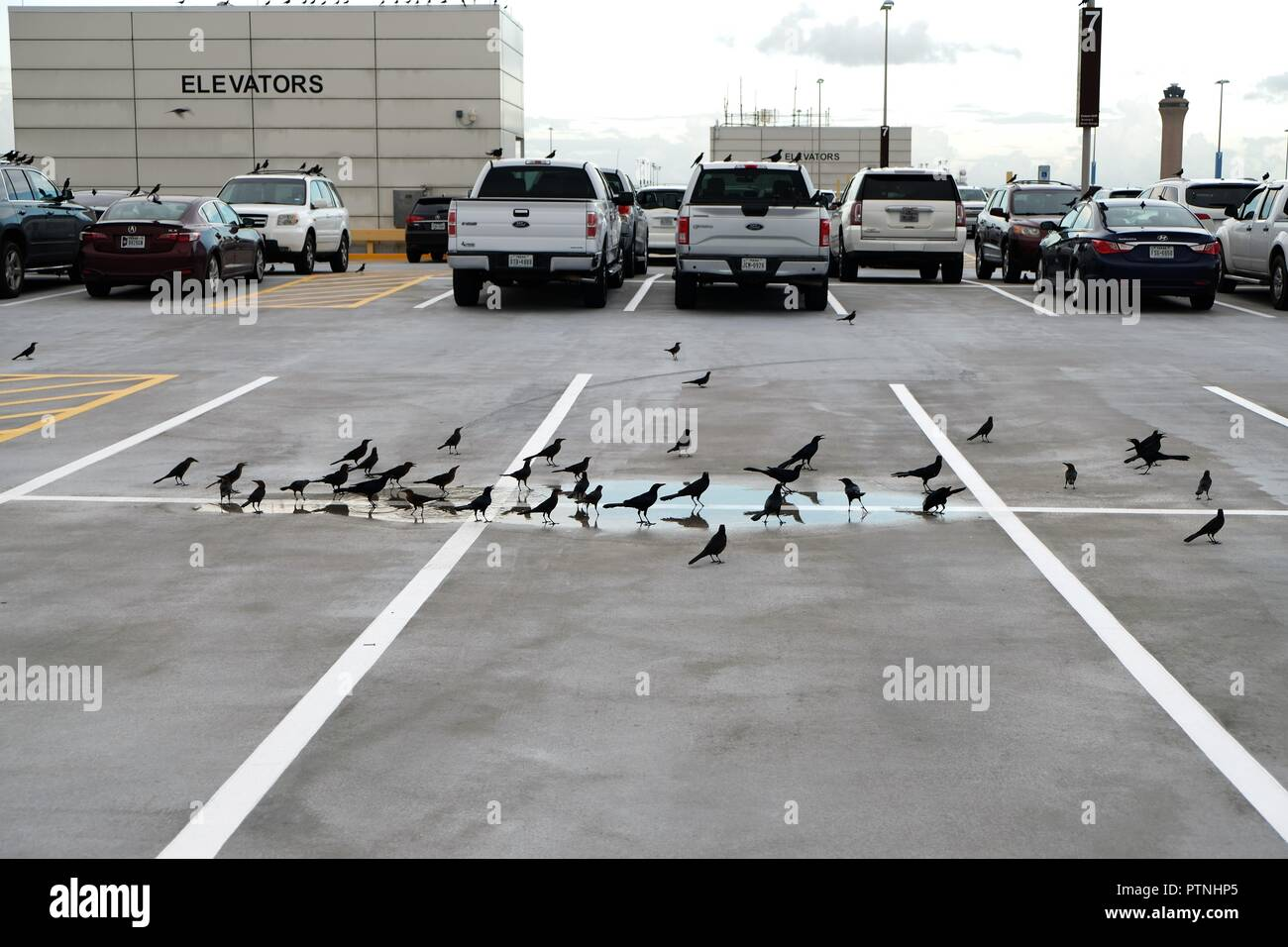 Car Lots In Houston >> Common Grackles Quiscalus Quiscula In A Puddle Of Water In